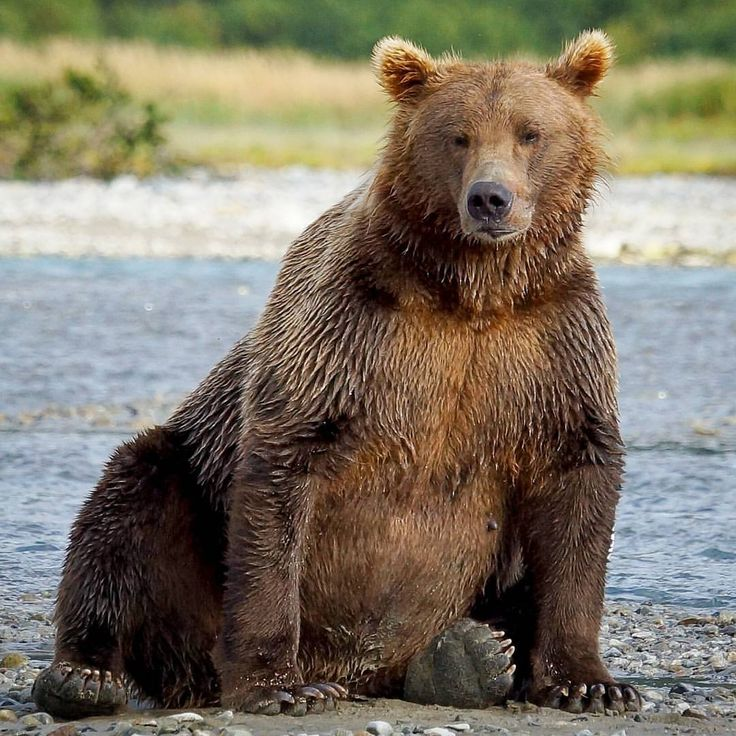 """487 Likes, 30 Comments - John Carr (@johnsnaturepictures) on Instagram: """"Huge Coastal Brown Bear poses while it is waiting patiently for ther salmon to come in! This is not…"""""""