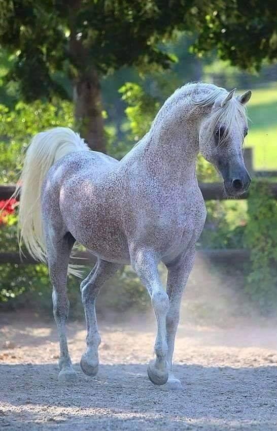 Dapple grey Arabian horse with flea bitten pattern coat. So pretty!