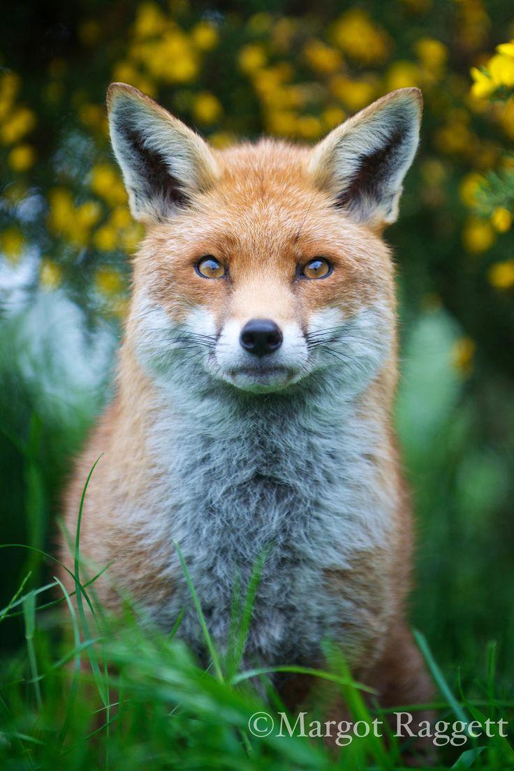 Red Fox by Margot Raggett