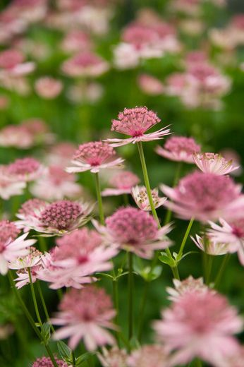 Astrantia major 'Roma' is clump-forming perennial that tolerates clay soil and blooms well if kept moist.