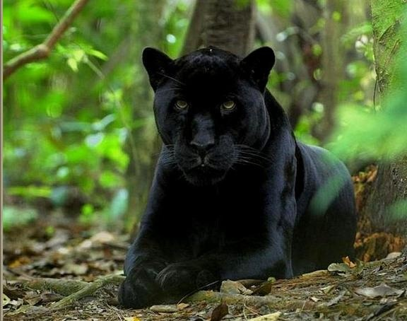 17 Best images about Panter on Pinterest | Persian, Posts and Cats