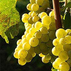 Rebsorten - Badischer Wein Weisser burgunder