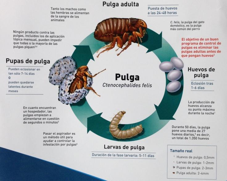 Ciclo vital de la pulga, y los puntos donde podemos actuar frente a ellas.