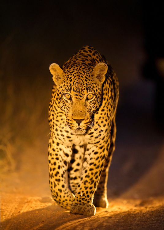 South Africa, Mpumalanga Province, Sabi Sands Game Reserve, Spotlight illuminates Leopard (Panthera pardus) walking along gravel track at night by Paul Souders
