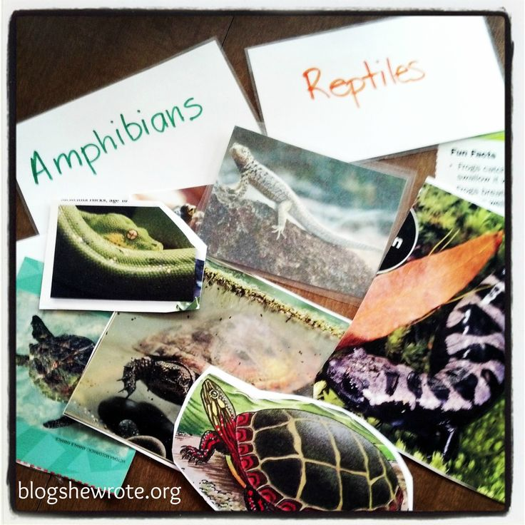 Blog, She Wrote: The Salamander Room- Amphibians & Reptiles Study.  Great extension to NaturExplorers Frogs and Toads!