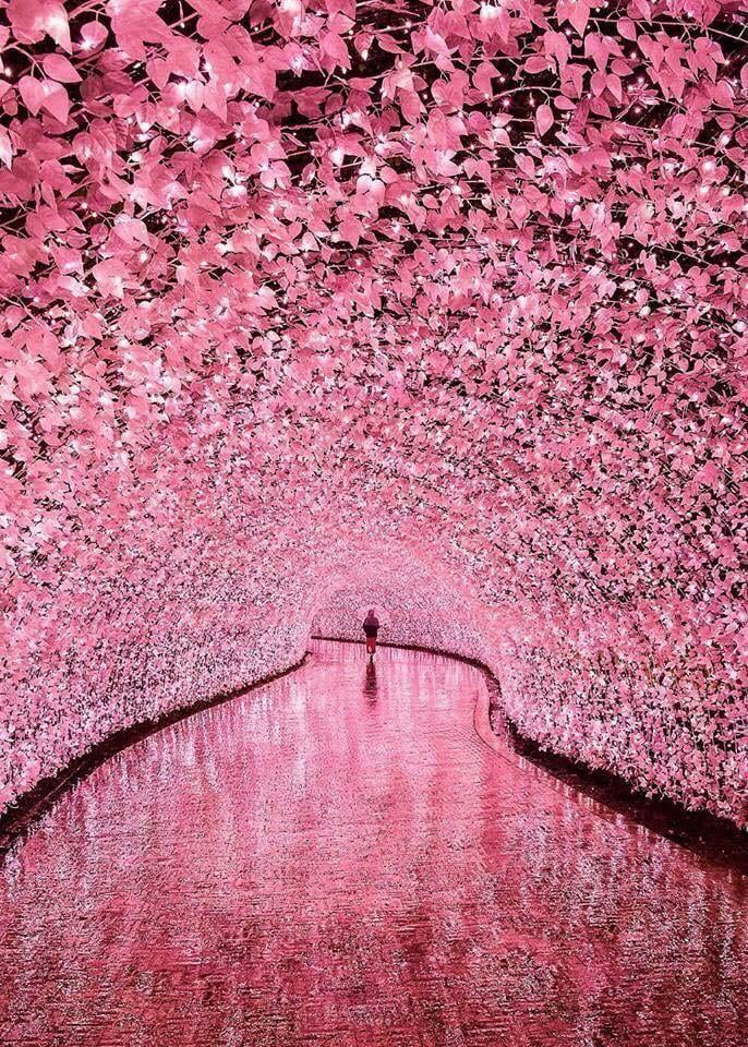 Illuminated Flower Tunnel In Japan Cherry Blossom Japan Nabana No Sato Cherry Blossom