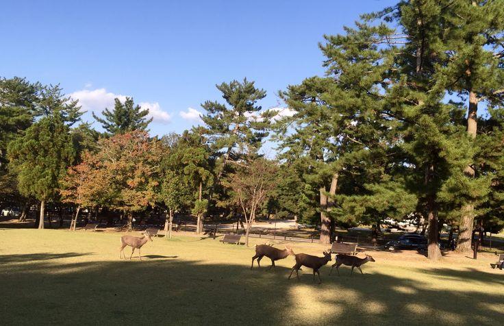 Wild deers hanging around at Nara Park.