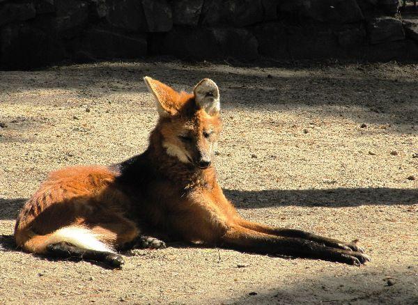 Гривистый волк. Отряд хищные, семейство псовые, распространен в Южной Америке. Одиночное животное, всеяден.Занесен в Красную книгу. Новосибирский зоопарк.