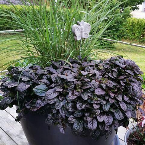 Revsuga hänger fint över kanten på krukor. Revsuga är perenn. Den här mörka sorten kan vara 'Braunherz'. Får lila blommor i juni.