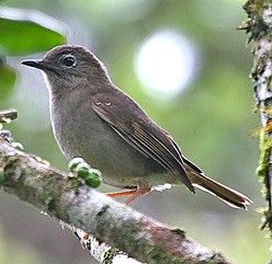 The endemic Puaiohi, actually a solitaire, is a beautiful songster (János Oláh)
