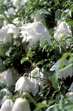 Clematis alpina 'White Moth', April May, Once given good drainage the Atragene group are useful garden plants. They can thrive in cold, windy situations and make ideal plants for north and east walls.