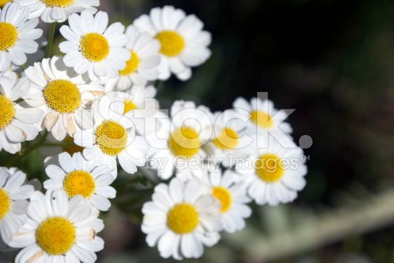 Chamomile Flowers (Matricaria chamomilla) royalty-free stock photo