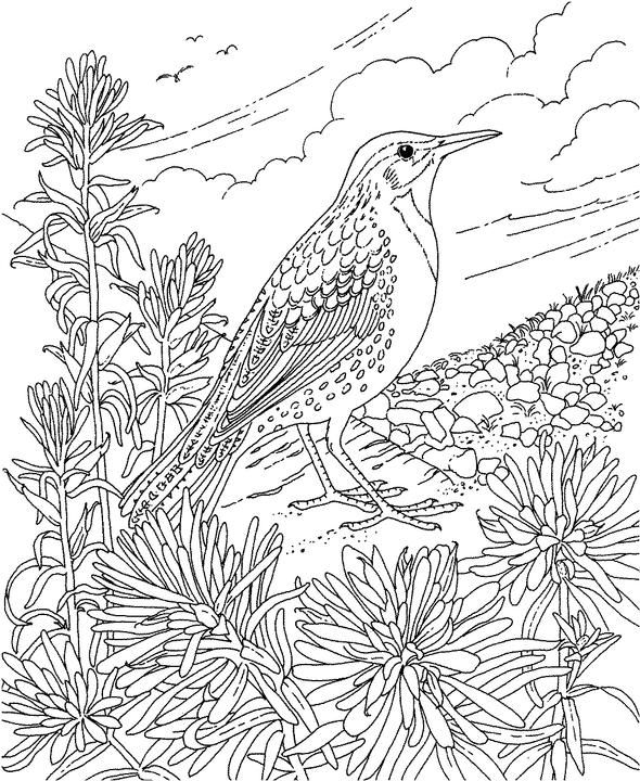 168 best images about coloring pages on pinterest for Meadowlark coloring page