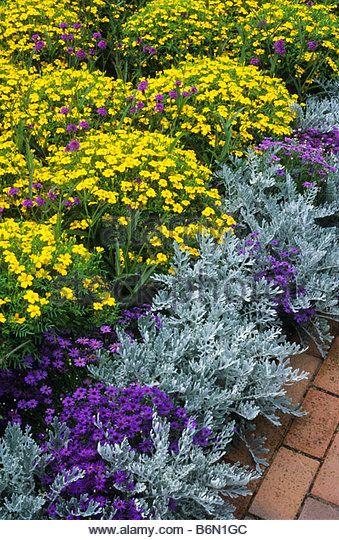 french-marigold-tagetes-lemon-gem-summer-flower-annual-yellow-august-b6n1gc.jpg (339×540)