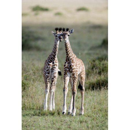 Masai giraffes (Giraffa camelopardalis tippelskirchi) in a forest Masai Mara National Reserve Kenya Canvas Art - Panoramic Images (16 x 24)