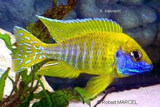 Sunshine Peacock, Aulonocara baenschi
