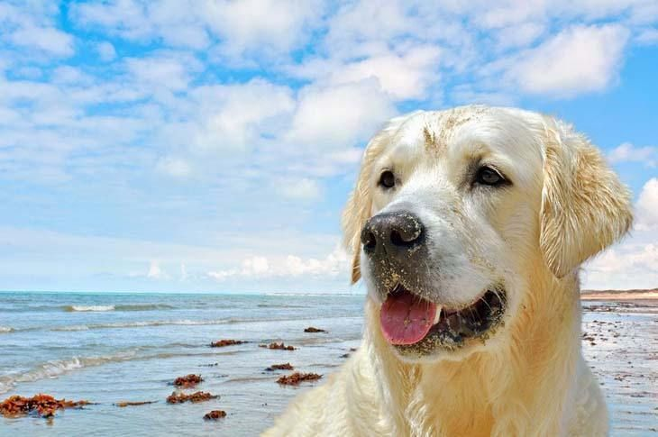 """""""Care to join me for a swim?""""...   Click on image for more beautiful yellow #Lab pictures"""