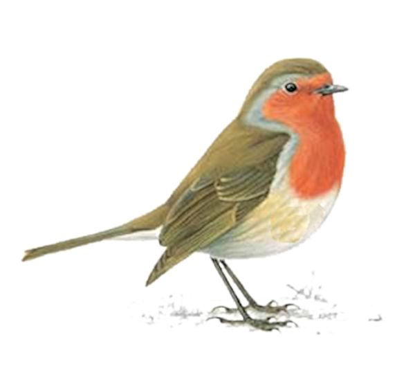 tube rouge-gorge - tube oiseau dans la neige