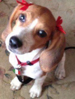 Beagle Friendly And Curious In 2020 Beagle Puppy Dog Breeds Beagle Dog