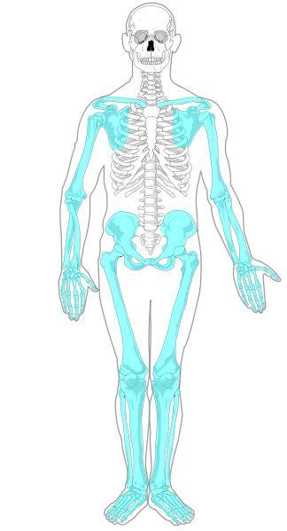 blank appendicular skeleton - photo #26