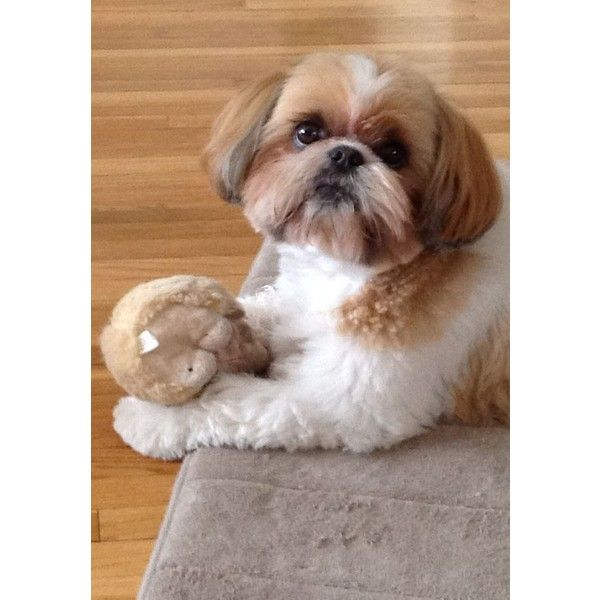 shih tzu toys 25 best ideas about toy shih tzu on pinterest shih tzu 4166