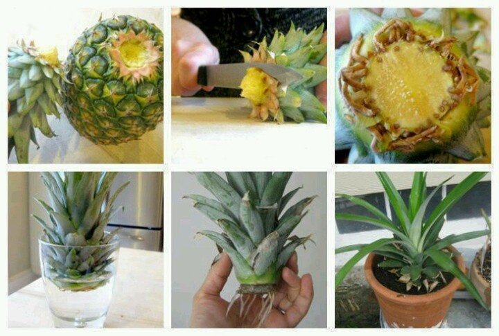 how to regrow a pineappleGardens Ideas, Green Thumb, Pineapple Plants, Growing Pineapple, Growing A Pineapple, Gardens Stuff, Diy, Food Recipe, Crafts