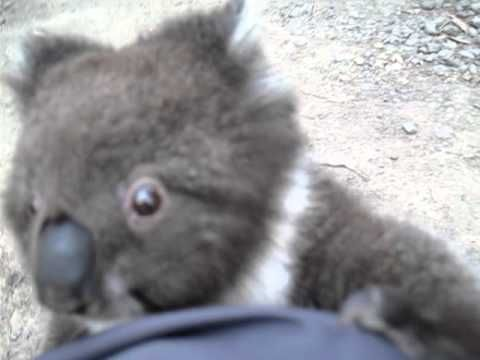 CUTE VIDEO -Watch this cute baby koala climb up a leg and into the arms for a cuddle!