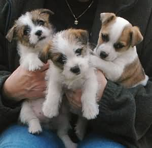 Jack Russell Terriers   the one on the right COOLEY