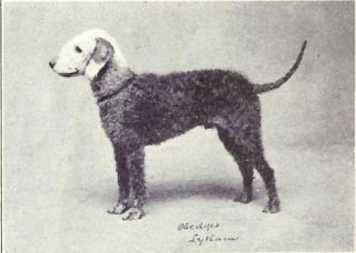 Bedlington Terrier of years past. My, how they've changed!