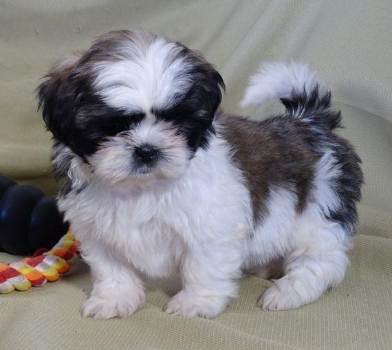 Henry Shih Tzu Puppy Puppyspot Shih Tzu Puppy Shih Tzu Dog