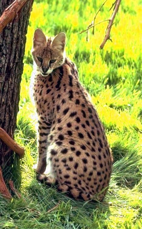 African serval cat, one of the most beautiful exotic animals i have ever set my eyes on.