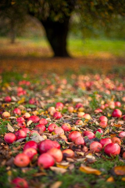 Apple orchards in the fall: