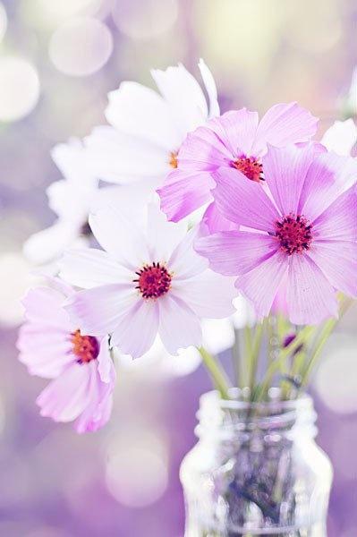 Delicate cosmos flowers.