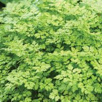 Chervil – Excellent companion for Brassicas, lettuce, and radishes, but does best in part shade. Chervil helps to repel slugs and attract pa...