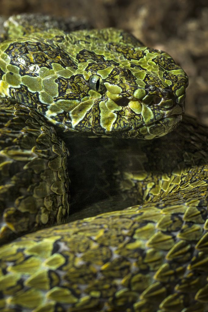 Mang Mountain Pit Viper (by Official San Diego Zoo) So creepy , creepy , icky , ick !!!