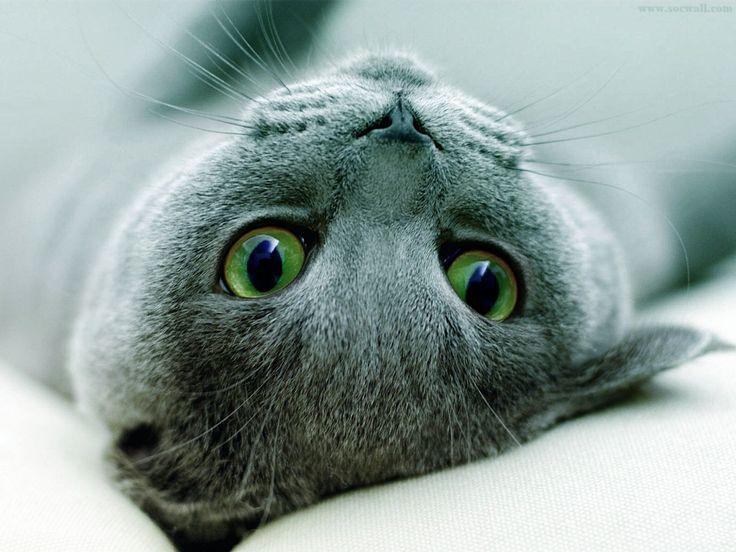 Szürke cica, zöld szemek háttérkép