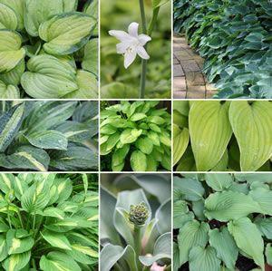 Funkien, Hosta - Pflanzen, Pflege, Vermehrung und Sorten