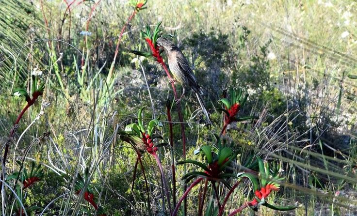 Kangaroo Paw - How #wildlife pollinates #WA's floral emblem | Particle    Pictured: A red wattlebird pollinating the plant