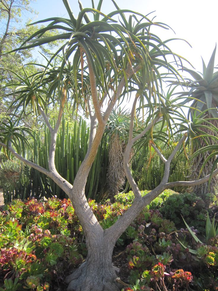 1000 images about aloe trees on pinterest for Plants for outdoor garden