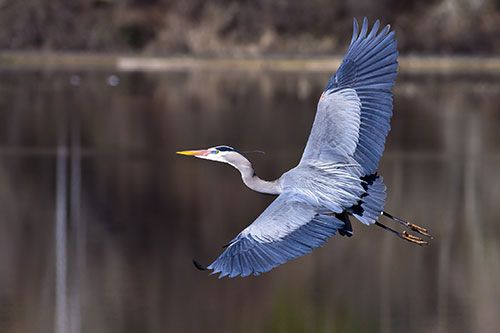 Great blue herons are wary of humans, and will abandon their nesting grounds if humans intrude on their colonies.