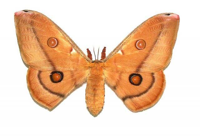 opodiphthera_eucalypti_04.jpg