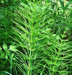 COADA-CALULUI – planta oaselor, care vindecă osteoporoza și durerile articulare