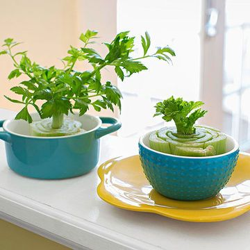 how to grow celery from base