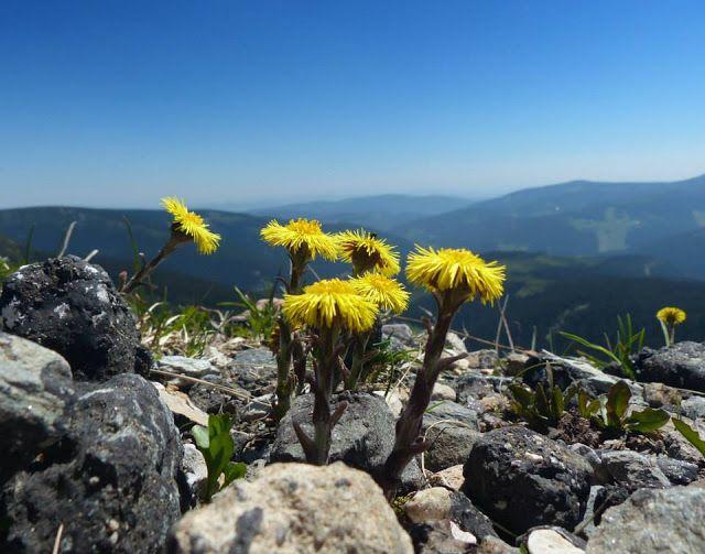 CZ REPORT NEWS: Bylinky rostou i tam, kde je vysoké kamení a dívaj...