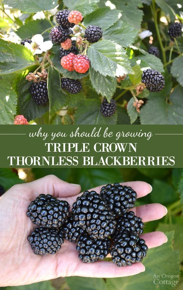 5 reasons to grow amazing Triple Crown Thornless Blackberries- just a few plants…