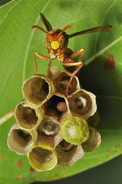 Blurring the Line Between Circles & Hexagons ~                                           Paper Wasp - John Horstman