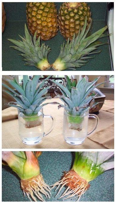 Как самому вырастить в домашних условиях ананас из верхушки плода, семян и другими способами. Методики и технологии самостоятельного проращивания ростков ананаса с подробным описанием и наглядными фотографиями - Вырастить белый гриб