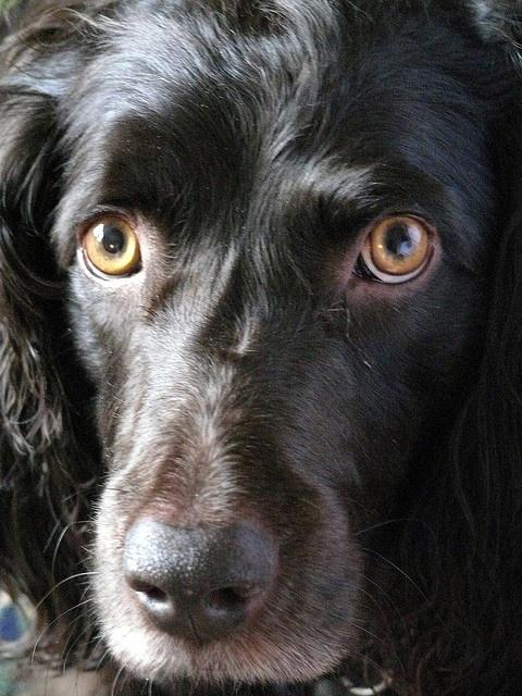 Chessy, Miss Shirley's Boykin Spaniel by Tansy Liverwort, via Flickr