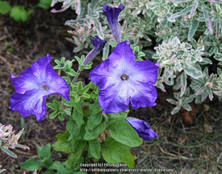 Petunias: Plant Care and Collection of Varieties - Garden.org