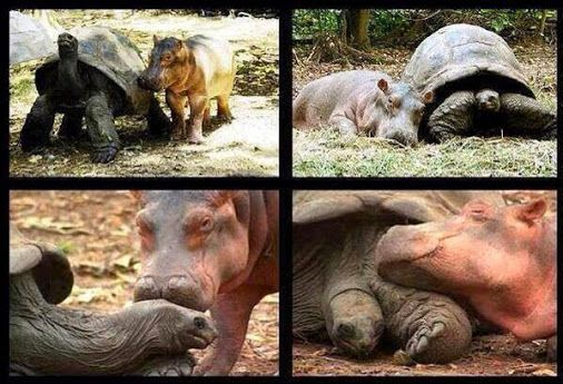 This baby #hippo got separated from his family by a tsunami and a 103 year old #tortoise became his best friend